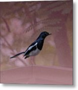 Oriental Magpie-robin With Texture Metal Print