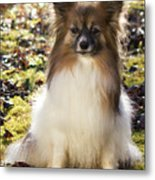 Papillon Sitting In Leaves Metal Print