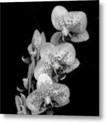 Phalaenopsis Orchids Black And White Metal Print