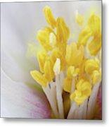 Philadelphus Flower Extreme Close Up With Pollen Metal Print