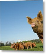 Pig In Field Metal Print