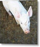 Pig Standing In Dirt Field Metal Print