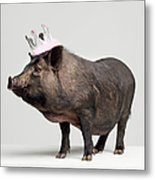 Pig With Toy Crown On Head, Studio Shot Metal Print