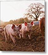 Piglets In Barnyard Metal Print