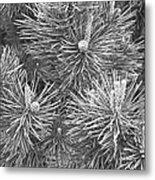 Pine Cones And Needles, Close-up B&w Metal Print