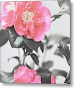 Pink Camellia. Shabby Chic Collection Metal Print