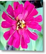 Pink Zinnia With Spider Metal Print