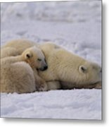 Polar Bear With Cub, Ursus Maritimus Metal Print