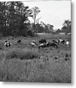 Pony Herd Bnw Metal Print