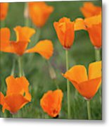 Poppies In The Breeze Metal Print