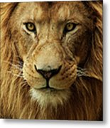 Portrait Male African Lion Metal Print