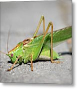 Portrait Of A Great Green Bush-cricket Sitting On The Pavement Metal Print