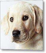 Portrait Of Blond Labrador Retriever Metal Print