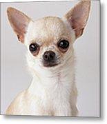 Portrait Of Chihuahua Metal Print