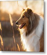 Portrait Of Rough Collie At Sunset Metal Print