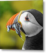 Puffin With A Mouthful Metal Print