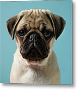 Pug Puppy Against Blue Background Metal Print