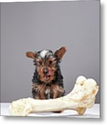 Puppy With Oversized Bone Metal Print