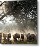 Pure Iberian Pigs Feed On Grasslands At Metal Print