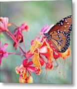 Queen Butterfly On Mexican Bird Of Paradise  Metal Print