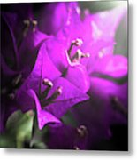 Rays Of Bougainvillea Metal Print