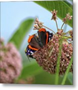 Red Admiral Butterfly On Milkweed Metal Print