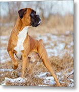 Red Boxer Dog Standing Outdoors Metal Print