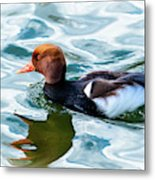 Red Crested Red Beak Red Eye Duck Metal Print