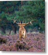 Red Deer Burls During Mating Season Metal Print