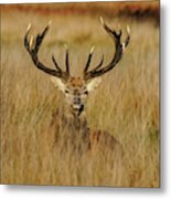 Red Deer Portrait 2 Metal Print