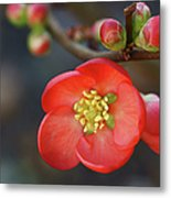 Red Flowering Quince Metal Print