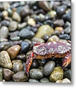 Red Rock Crab On A Pebble Covered Beach Metal Print
