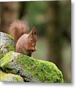 Red Squirrel Sciurus Vulgaris Eating A Seed On A Stone Wall Metal Print