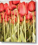 Red Tulip Field In Portrait Format. Metal Print
