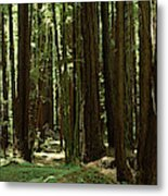 Redwood Trees Armstrong Redwoods St Metal Print