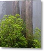 Redwoods By Crescent City 7 Metal Print