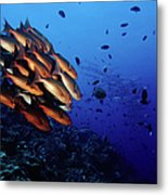 Reef Rush Hour, Snappers And Barracudas Metal Print