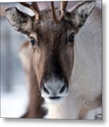 Reindeer In Its Natural Environment In Metal Print