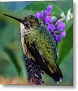 Rescued Ruby-throated Hummingbird Metal Print
