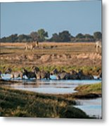 River-crossing Zebras Metal Print