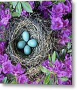 Robins Nest In Azalea Bush, Spring Metal Print