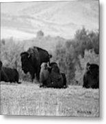 Rocky Mountain Bison Metal Print