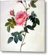 Rosa Inermis Metal Print