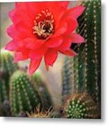 Rose Quartz Cactus Flower  Metal Print