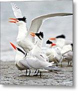 Royal Tern Sterna Maxima Courtship Metal Print