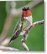 Ruby-throated Hummingbird In All His Glory Metal Print