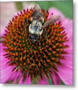 Rudbeckia Coneflower With Bee, Canada Metal Print