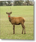 Rudolph The Red Nosed Reindeer Metal Print