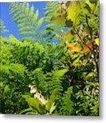 Salal Blooms Amongst The Ferns Metal Print
