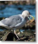 Seagull Carrying Snail Metal Print